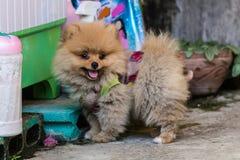 Pomeranian garb Stock Image