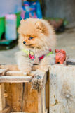 Pomeranian garb Stock Photos