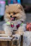 Pomeranian garb Stock Images