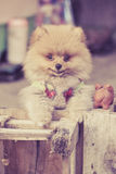 Pomeranian garb Royalty Free Stock Photo