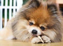 Pomeranian genießen es ist Nahrung. Stockbild