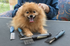 Pomeranian German Spitz dog and grooming combs. Pomeranian German Spitz dog is lying on the grooming table and is looking at the camera. Different types og the royalty free stock images