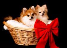 Pomeranian Geschenk Lizenzfreie Stockbilder