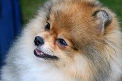 Pomeranian grazioso immagini stock libere da diritti