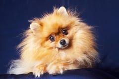 Pomeranian grazioso su un fondo blu Immagini Stock