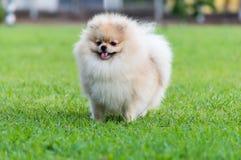 Pomeranian. On the green field Stock Photo