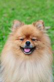 Pomeranian on green grass. Background stock image
