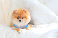 Pomeranian grooming dog wear clothes on bed Royalty Free Stock Photo