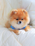 Pomeranian grooming dog wear clothes on bed Royalty Free Stock Image
