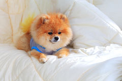 Pomeranian grooming dog wear clothes on bed Stock Image