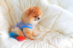 Pomeranian grooming dog wear clothes Stock Image