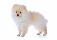 Pomeranian grooming dog on white background. Cute pet, pomeranian grooming dog on white background Royalty Free Stock Photos