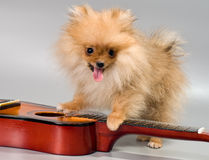 Pomeranian with a guitar Royalty Free Stock Photography