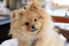pomeranian gullig hund Royaltyfria Bilder