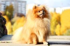 pomeranian gullig hund Hunden i höst parkerar Pomeranian i höstgulingsidor allvarlig hund Arkivfoto