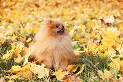 pomeranian gullig hund Hunden i höst parkerar Pomeranian i höstgulingsidor allvarlig hund Arkivbilder