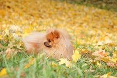 pomeranian gullig hund Hunden i höst parkerar Pomeranian i höstgulingsidor allvarlig hund Fotografering för Bildbyråer
