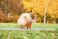 pomeranian gullig hund Hunden i höst parkerar Pomeranian i höstgulingsidor allvarlig hund Arkivfoton