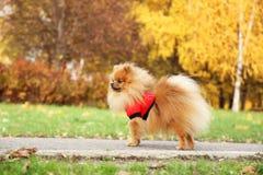 pomeranian gullig hund Hunden i höst parkerar Pomeranian i höstgulingsidor allvarlig hund Royaltyfria Foton