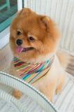 Pomeranian-Hündchen, das mit dem kurzen Haar, nettes Haustier sich pflegt Stockfotos