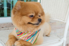 Pomeranian-Hündchen, das mit dem kurzen Haar sich pflegt Lizenzfreie Stockbilder