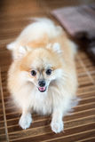 Pomeranian. Happy young Pomeranian in home Stock Image