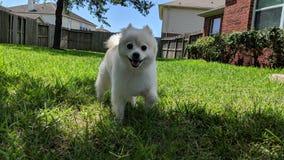 Pomeranian Haru, welches das Yard genießt Stockfotos
