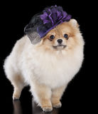 Pomeranian in a hat Royalty Free Stock Photo