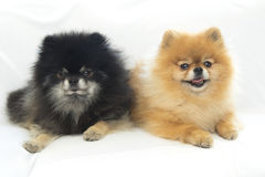 Pomeranian het ontspannen in studio royalty-vrije stock foto