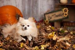 Pomeranian het Spelen in de Bladeren Royalty-vrije Stock Foto
