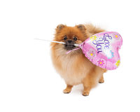 Pomeranian Holding Love You Balloon Stock Image