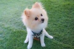 Pomeranian hond Stock Foto
