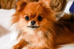 pomeranian hund arkivbilder