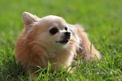 Pomeranian-Hund stockbild