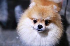 Pomeranian Hund Stockfotografie