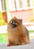 pomeranian hund royaltyfri bild