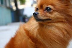 pomeranian hund arkivbild