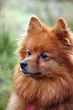 Pomeranian Hund Stockfoto