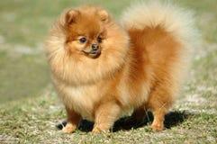Pomeranian Hund lizenzfreies stockbild