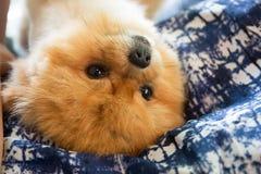 Pomeranian Hund Lizenzfreie Stockbilder