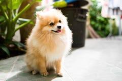 Pomeranian Hund Stockbild