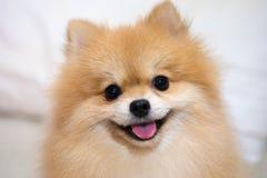 Pomeranian Hund Lizenzfreies Stockfoto