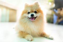 Pomeranian hund Fotografering för Bildbyråer