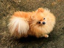 Pomeranian Hund Lizenzfreie Stockfotos