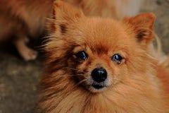 Pomeranian Hund Stockfotos