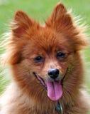 Pomeranian Hund Lizenzfreie Stockfotografie