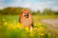 Pomeranian-Hund auf dem Feld Lizenzfreies Stockfoto