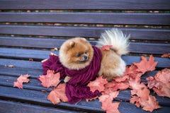 Pomeranian-Hund auf der Bank eingewickelt im purpurroten Schal Schöner Herbsthund in einem Park mit Herbstlaub Stockbilder