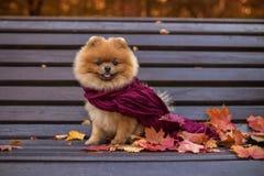 Pomeranian-Hund auf der Bank eingewickelt im purpurroten Schal Schöner Herbsthund in einem Park mit Herbstlaub Stockfotografie