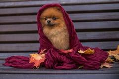 Pomeranian-Hund auf der Bank eingewickelt im purpurroten Schal Schöner Herbsthund in einem Park mit Herbstlaub Stockbild